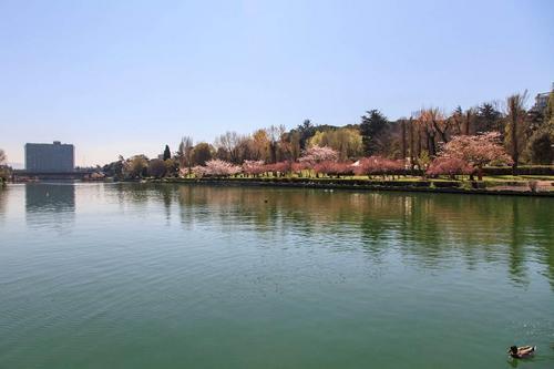 Anche Roma festeggia l'Hanami con nuovi ciliegi alla Passeggiata del Giappone